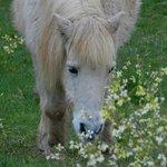 Resident Pony