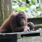 Orangutan x