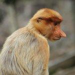 Female Probiscus Monkey