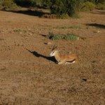 Old Springbok