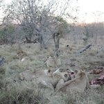 Lion with giraffe kill