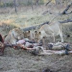 Lion on giraffe kill