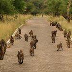 karibu dato dalle scimmie