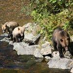 Ausflug zu Grizzlybeobachtung