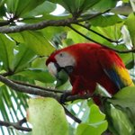 one of many scarlet macaws in tree on beach