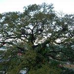 La Ceiba tree outside room