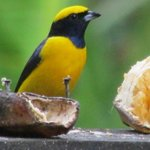 euphonia at the feeder