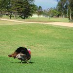 Turkey on the greens