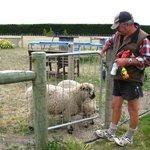 Feeding the sheeps!