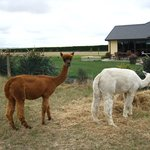 Alpacas at the farm
