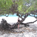One on the many Divi Trees at the Beach