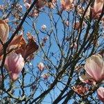 Magnolio en el jardín