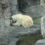 El gran oso polar.