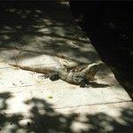 Iguana!! Harmless