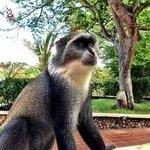 scimmiette resident