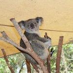 Koalas at Feeding Time