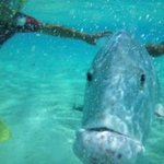 George the Giant Trevally