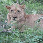 We ventured off road to find this beautiful lioness!