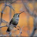 One of many hummingbirds