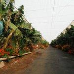 Bananenplantage vrij toegankelijk