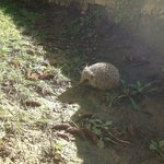The young hedgehog enjoying first sun