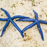 le stelle blu della spiaggia di Uroa