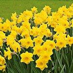 Spring daffodils....enjoy!