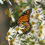 Monarch butterfly enjoying our daisies.