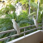 cockatoos on balcony
