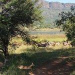 Running zebras and impala.
