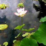 Lotus flower in our pond