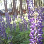 Lupine growing near the cabins