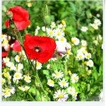 ดอกไม้สีแดงคือดอกฝิ่นประดับนะคะ  ส่วนสีขาวคือดอกคาโมมายน์ มีอยู่ตามสวนต่างๆ ภา
