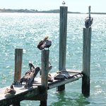 Pelicans at the pier