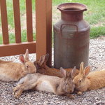 Bunnies resting at the Farmhouse