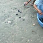 Baby turtles being released on Playa Hermosa
