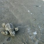 Baby Olive Ridley turtle