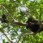Mama and baby Howler Monkey
