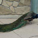 Beautiful Peacock 2