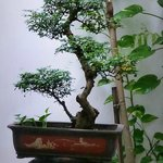 Bonsai in internal gardens