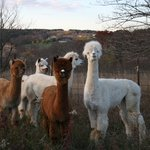 Hi from our alpacas