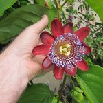 Passion Flower, Manana Madera