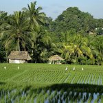 Ricefields nearby in Ubud