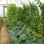 Our Vegetables in the Polytunnels