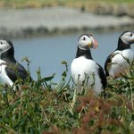 Delightful Puffins on the Treshnish Isles