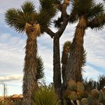 Joshua Trees on the property