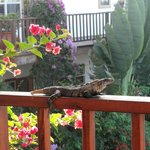 "A ""local"" visited us!  View from our deck to pool & beach ar"