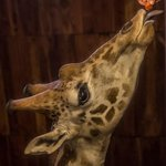 Hand feed endangered Rotchschild Giraffe