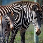 Endangered Grevy's Zebra breeding program