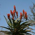 растения - так цветет алоэ